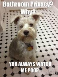 White miniature schnauzer meme | Pompom Linscott | Pinterest ... via Relatably.com