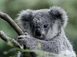Resultado de imagem para filhote coala