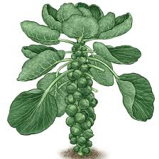 Image result for brussels sprouts