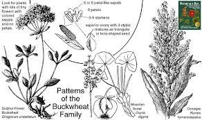 Polygonaceae: Buckwheat Family. Identify plants and flowers.