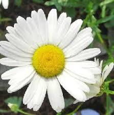 <b>Daisy Flower</b> - Types of <b>Daisies</b>   TheFlowerExpert