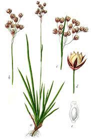 Luzula forsteri - Wikipedia