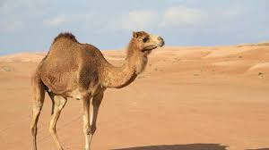 the camel essay camel kills 60 year old american at beach resort 6abc com