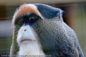 7. Monyet Debrazzas
