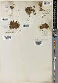 Trifolium congestum Guss.   Plants of the World Online   Kew Science