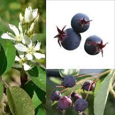 Amelanchier ovalis Snowy Mespilus, Dwarf Garden Serviceberry ...