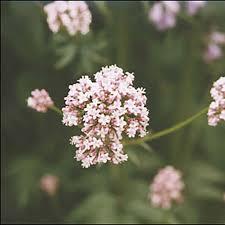 Valerian   Flora Health – International