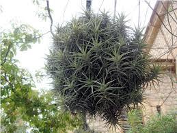 images air plants