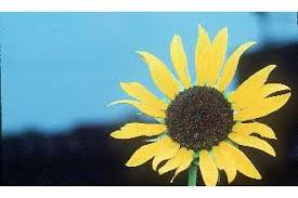 Plants Profile for Helianthus annuus (common sunflower)