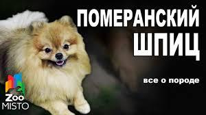 Померанский Шпиц - Все о породе собаки   Собака породы ...