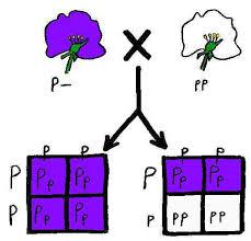 Homework help genetics two trait crosses   Essay custom uk