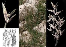 Agrostis alpina Scop. - Portale sulla flora del Parco Naturale ...