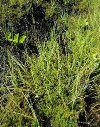 Carex canescens - Michigan Flora