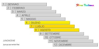 Juncus sorrentinii [Giunco di Sorrentino] - Flora Italiana