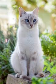 Image result for pale pelted norwegian forest cat blue eyes