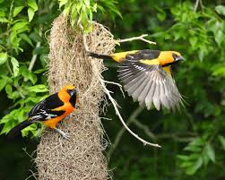 fish and wildlife service altamira orioles tend a characteristically long nest at laguna atascosa national wildlife refuge in south texas credit steve sinclair