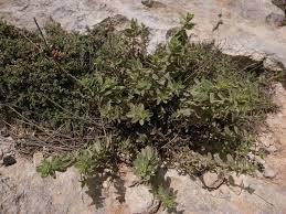 Chiliadenus - Wikipedia
