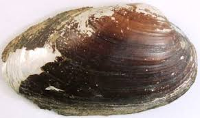 Thick shelled river mussel