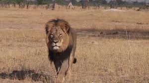 Image result for african lion murder