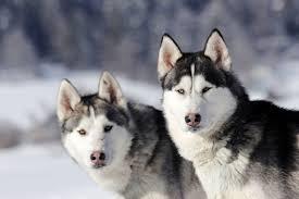 Порода собаки <b>сибирский хаски</b>: характеристики, фото ...
