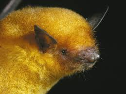 <b>Golden bat</b> in Bolivia classified as a new species | The Independent ...