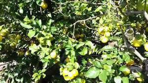 lemon tree x: citrus limon cv eureka lemon tree hd