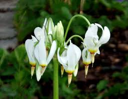 Image result for shooting star plant