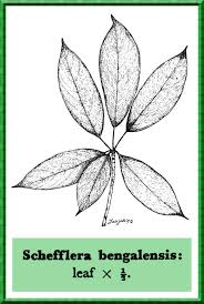 Araliaceae in Flora of Pakistan @ efloras.org