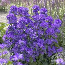 Plant Profile for Campanula glomerata 'Freya' - Clustered Bellflower ...