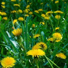 Why Are There Yellow <b>Flowers</b> in My <b>Grass</b>?