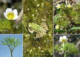 Ranunculus circinatus Sibth. - Sistema informativo sulla flora ...