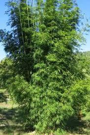 gracilis living bamboo brisbane bamboo plant nursery brisbane office plants