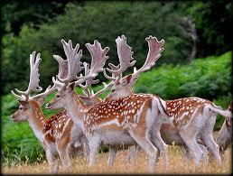 Image result for fallow deer