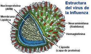 Resultat d'imatges de virus gripe