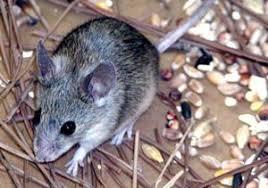 """Résultat de recherche d'images pour """"souris domestique noir"""""""