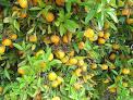 african cherry orange