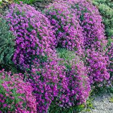 <b>Цветы</b> обриета: фото, выращивание из семян рассадой, посадка ...