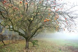 Image result for Persimmon Tree