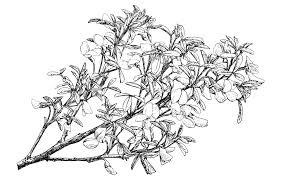 Cytisus emeriflorus - Trees and Shrubs Online
