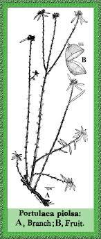 Portulaca in Flora of Pakistan @ efloras.org