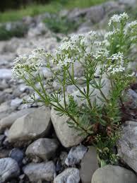 File:Galium anisophyllum Vill. (7477274514).jpg - Wikimedia ...