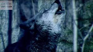 Why Do <b>Wolves Howl</b> At the <b>Moon</b>? | Zoo La La | Earth Unplugged ...