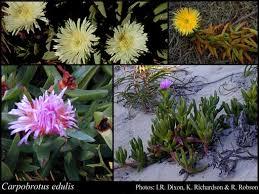 Carpobrotus edulis (L.) N.E.Br.: FloraBase: Flora of Western Australia