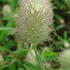 Trifolium arvense (rabbit-foot clover): Go Botany
