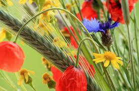 Bildergebnis für kwiaty polne zdjęcia