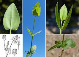 Blackstonia imperfoliata (L.f.) Samp. - Portale sulla flora del Parco ...