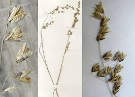 Melica minuta L. subsp. latifolia (Coss.) W.Hempel - Guida alla flora ...
