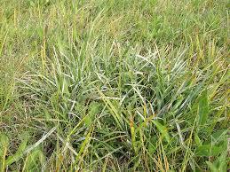 Sesleria uliginosa - Burgenlandflora
