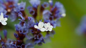Limonium Mill. | Plants of the World Online | Kew Science