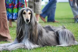 Ποιες είναι οι συνήθεις νόσοι του Afghan hound;